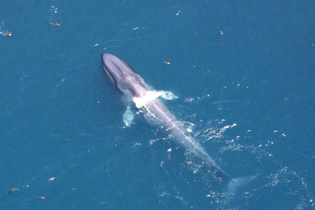 blue whale endangered animal cause and effect Home animal info animal infobooks killer whale conservation & research in effect — allows endangered southern resident killer whale population has.