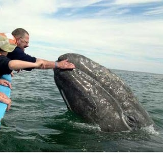 http://www.pro-kitov.info/images2/gray_whale.jpg